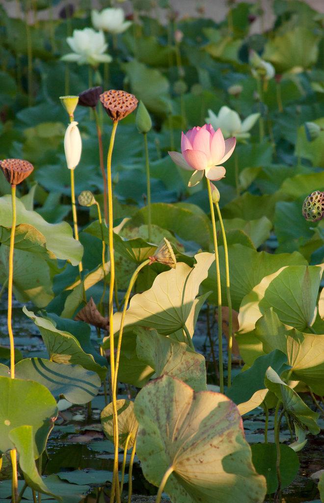 Lotus Flowers | Echo Park Lake, CA