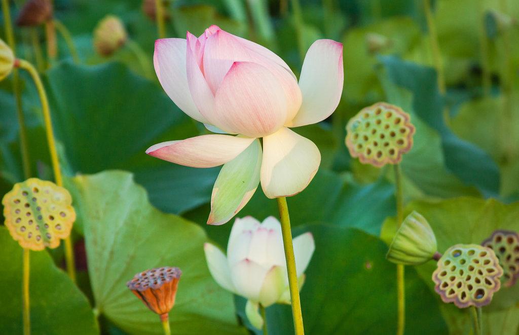 Lotus Flower | Echo Park Lake, CA